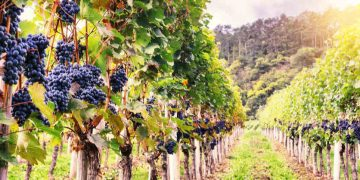 A Trojan Horse of Nanoparticles Could Fight Fungal Infections in Grapevines