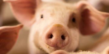 Genetic Engineering Makes Pigs Resistant to Billion-Dollar Animal Disease