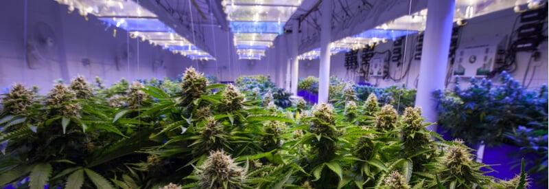 medical cannabis, cannabis, Dentons, legalization