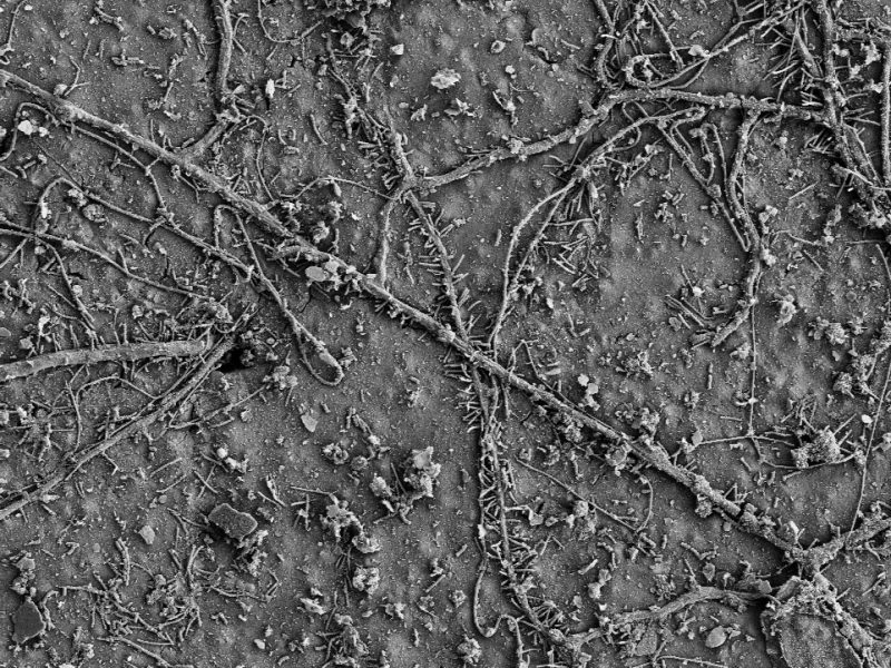 After a few weeks in soils, numerous soil microorganisms colonized the surface of the PBAT films and had begun to biodegrade the polymer. (Electron microscopy image)