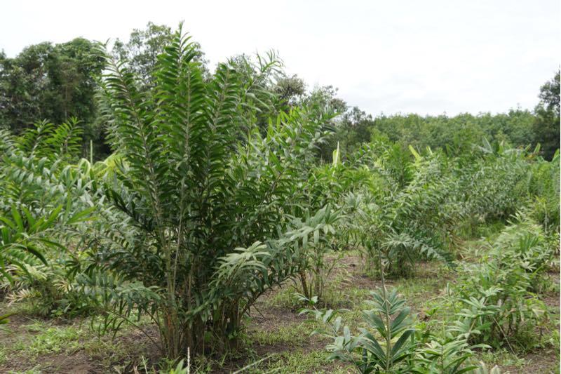 Biomimicry - Rattan plant