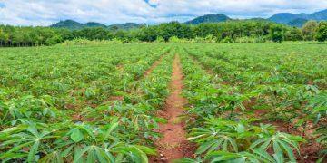 Cassava plantation - CRISPR editing story