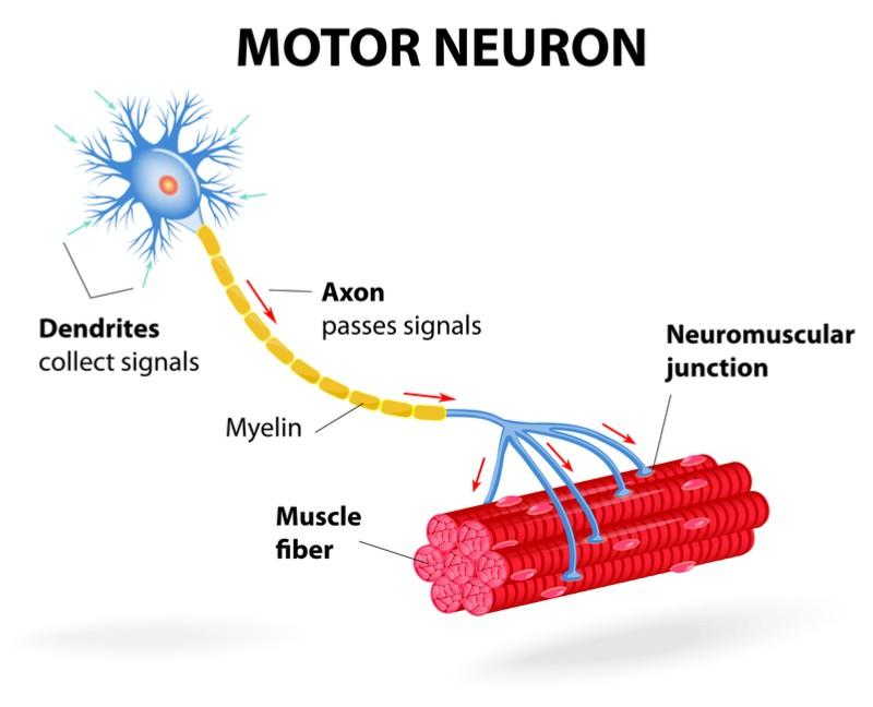 Pharnext genetic nerve disorder motor neuron