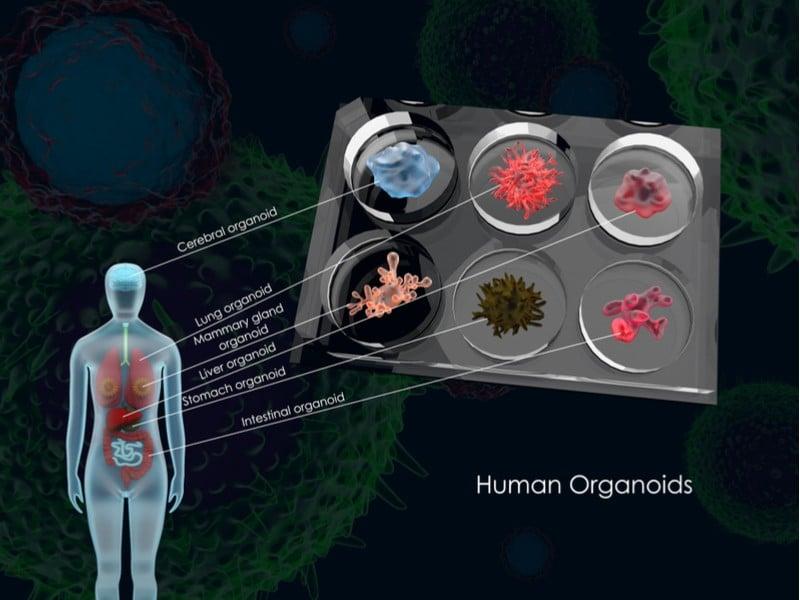 animal testing organoid biotechnology