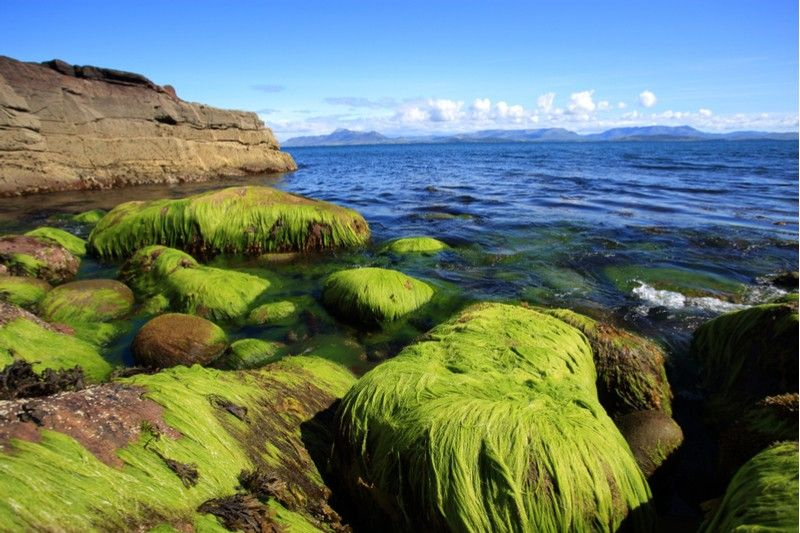 algaia france seaweed atlantic
