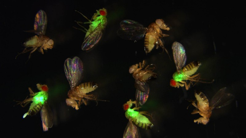 CRISPR-Cas9 antimicrobial peptide antibiotic resistance fruit fly