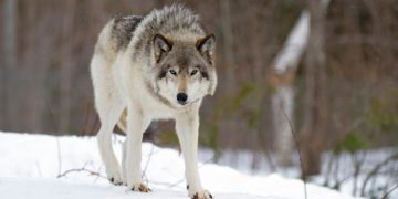 grey wolf therapeutics cancer therapy immunotherapy