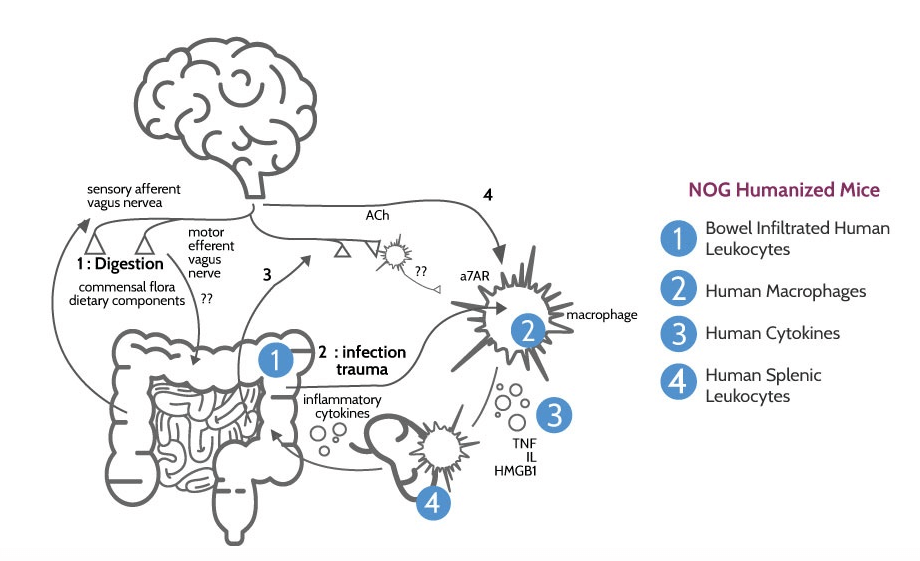 Inflammatory Bowel Disease, IBD, inflammation, mouse model, TransCure bioServices, IBD treatment