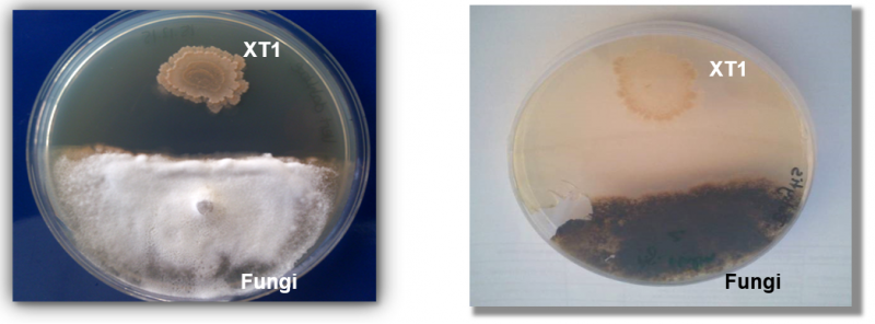 Extremophiles: Anti-fungal assay showing XT1's ability to inhibit the growth of two common fungal plant pathogens, Verticillium dahliae (left) and Botrytis cinerea (right).