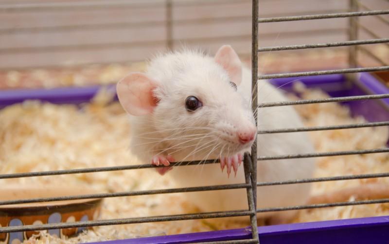 animal testing lab rat biotechnology