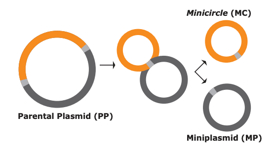 minicircle DNA, CAR-T therapy, cancer treatment, plasmid, vector