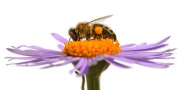 bees dying university of Cambridge vaccine virus