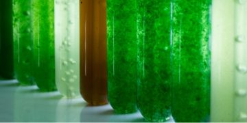 microphyt microalgae obesity cognitive decline