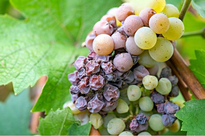 pesticide nanobody agrosavfe grape fungal