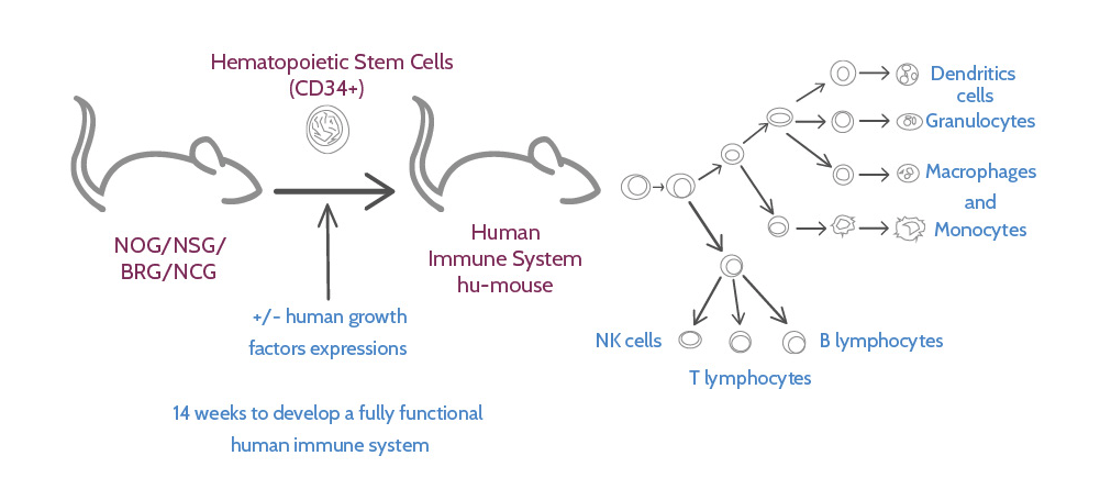 mouse model, fully human immune system, preclinical model