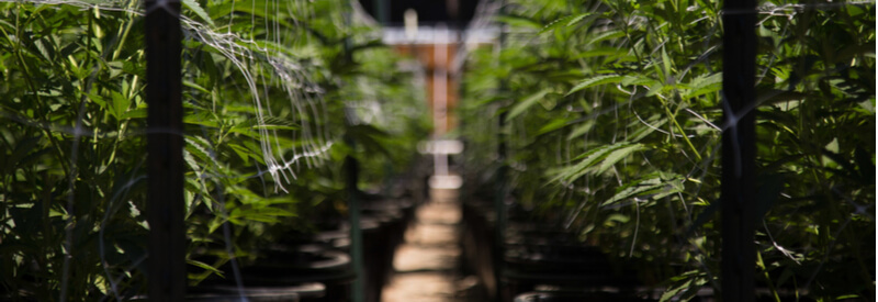 cannabis cultivation, new cannabis regulations in Europe