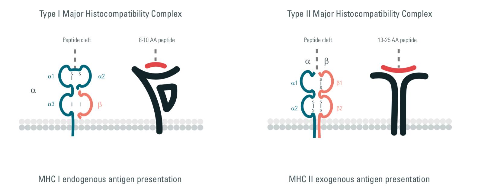 MHC, major histocompatibility complex, innate immunity, therapeutic strategies, cisbio copyright