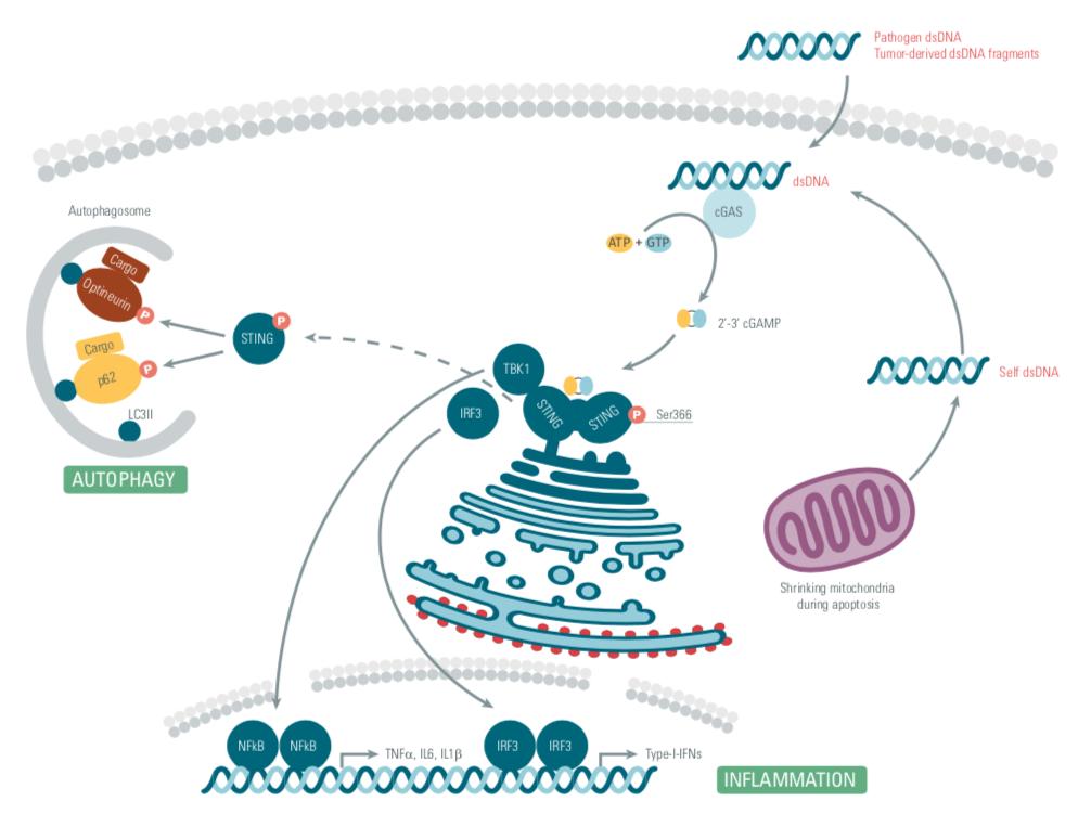 STING pathway, stimulator of interferon genes, cisbio copyright, innate immunity, therapeutic strategies