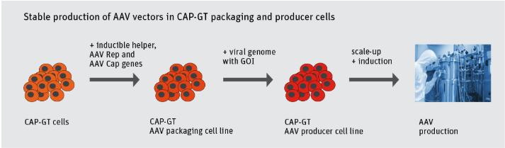 CAP-GT, cell line, CAP cell line, CEVEC
