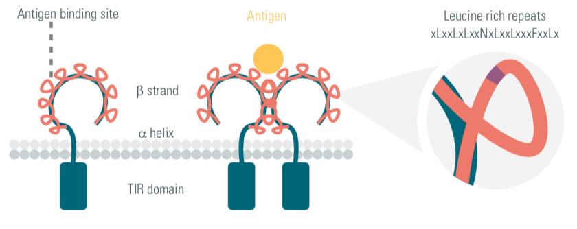 Toll-like receptors, TLRs, innate immunity, cisbio copyright, therapeutic strategies