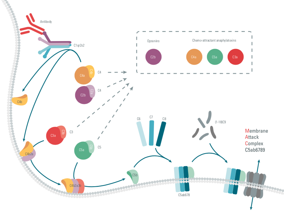the complement system, complements, innate immunity, therapeutic strategies, cisbio copyright