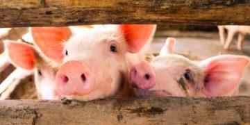 Meatable lab grown pork