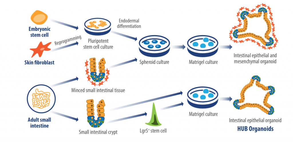 HUB organoids vs other organoid technologies