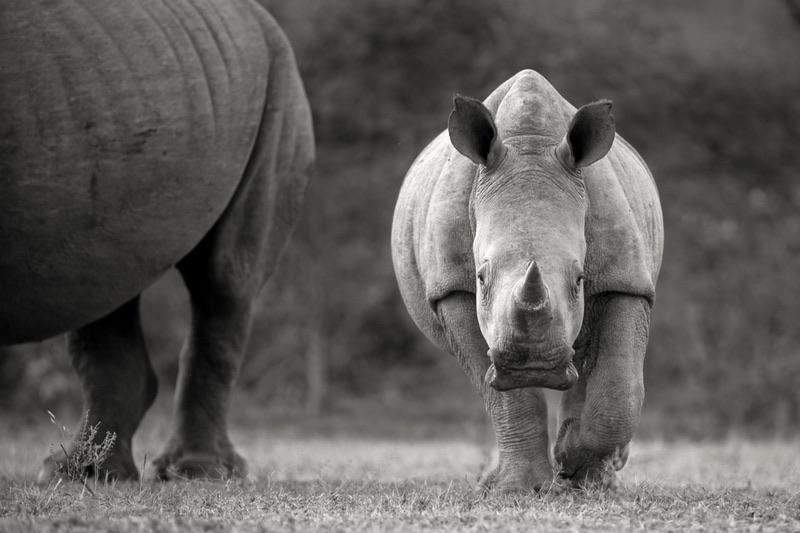 rhino embryo biorescue merck