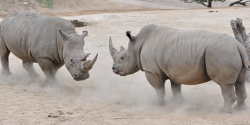 rhino northern white embryo conservation