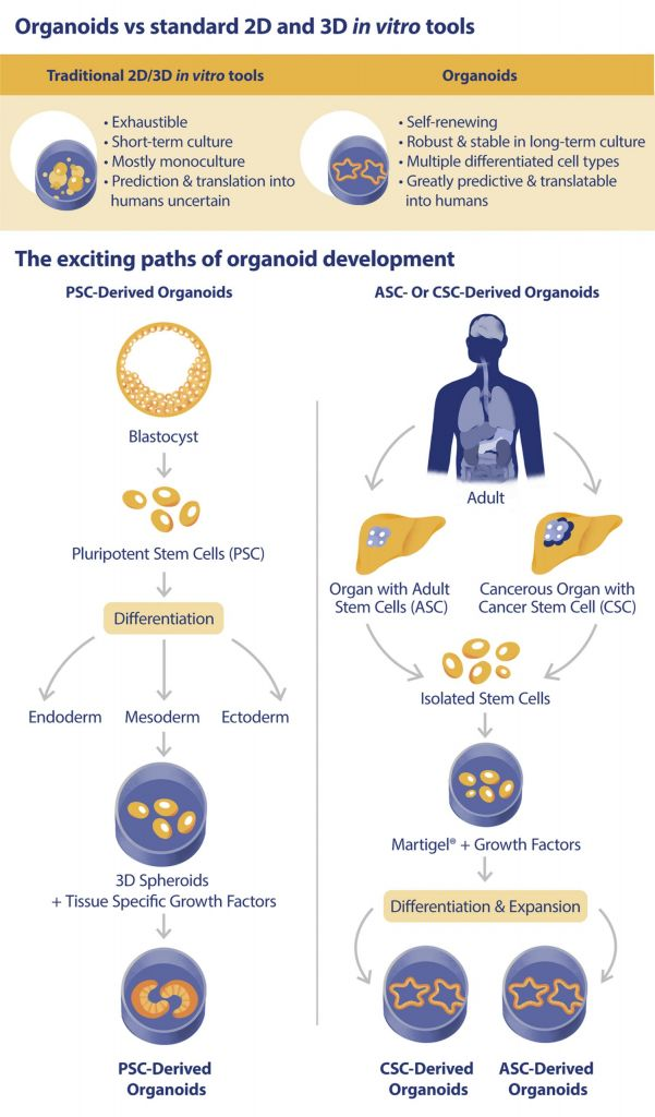 organoids, tumor organoids, cancer research