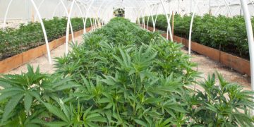 medical cannabis, Germany, cannabis plantation