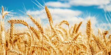 Amoeba wheat rust disease