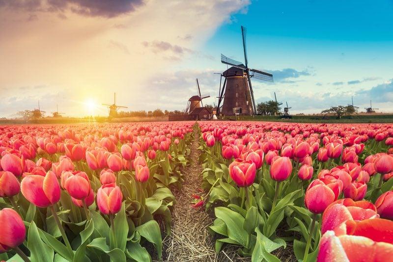 Azole antifungals tulip farms