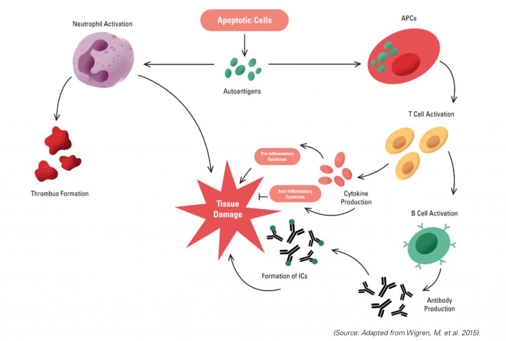 lupus, autoimmune disease, immune system